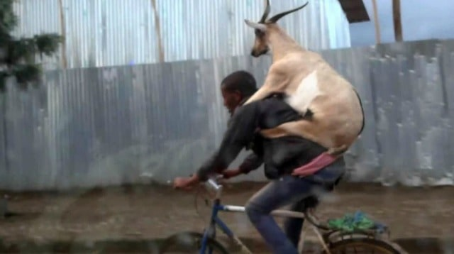 Goat on a bike