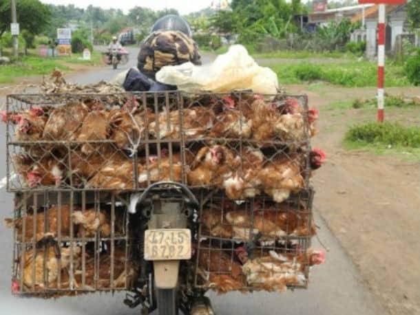 chickens on bikes