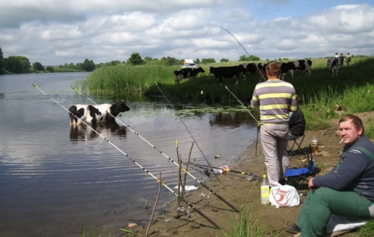 cow fishing